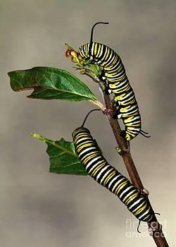Sabrina L Ryan - A Pair of Monarch Caterpillars
