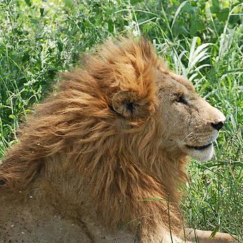 Harvey Barrison - A Pensive Lion