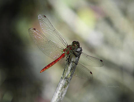 Xueling Zou - A Red Dragonfly