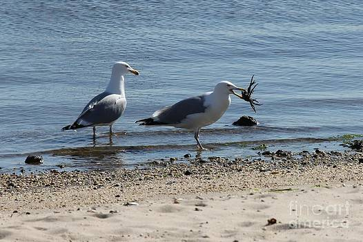 A Seagull's Meal by Scenesational Photos