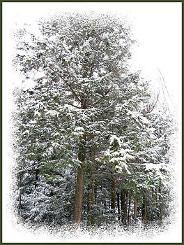 Chantal PhotoPix - A Single Snow Covered Evergreen Pine Tree Framed in the Canadian Wilderness after a Snow Storm