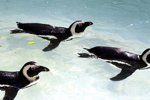 A Small Squadron of Swimming Penguins by Heather Lennox