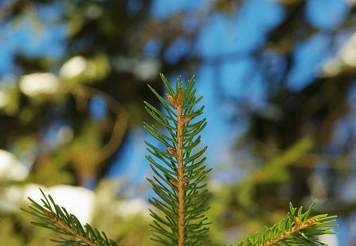 A Sprig Of Spruce by Alexandr S