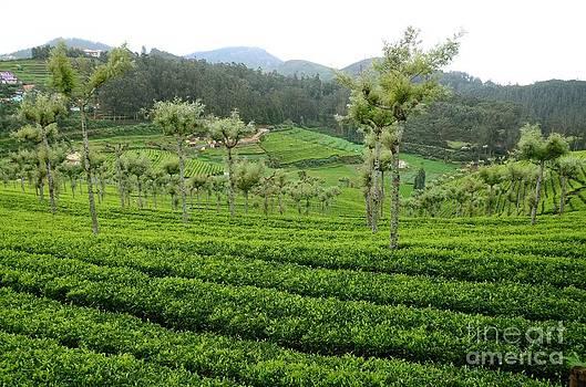 A Tea Garden by Jiss Joseph