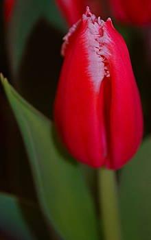 Michelle Cruz - A Tulip Beauty