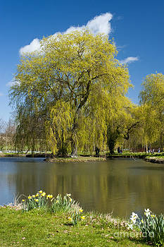 A Willow in Spring by Donald Davis