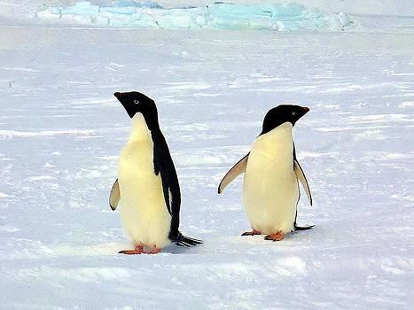 Adelie Penguin 100 by David Barringhaus