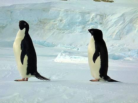 Adelie Penguin 101 by David Barringhaus