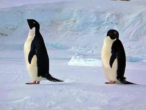 Adelie Penguin 102 by David Barringhaus