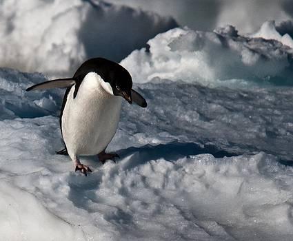 Adelie Penguin 13 by David Barringhaus