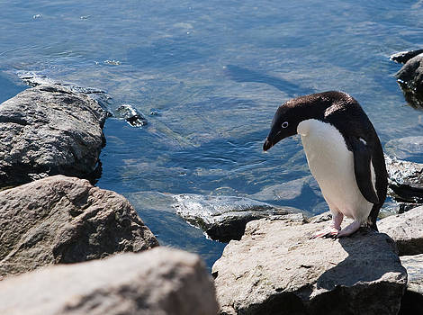 Adelie Penguin 15 by David Barringhaus
