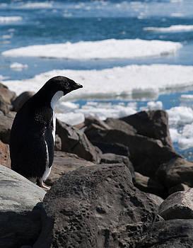 Adelie Penguin 16 by David Barringhaus