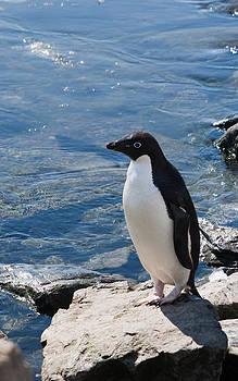 Adelie Penguin 17 by David Barringhaus