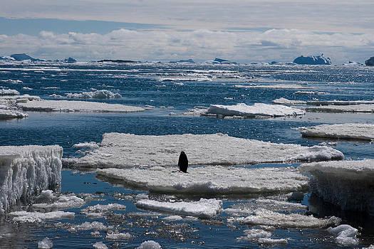 Adelie Penguin 18 by David Barringhaus