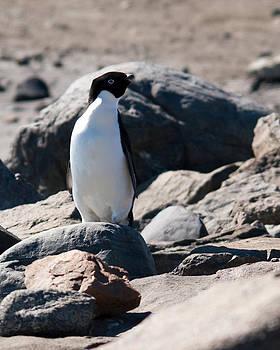 Adelie Penguin 22 by David Barringhaus