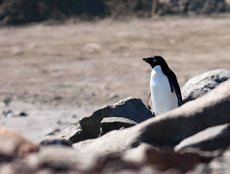 Adelie Penguin 23 by David Barringhaus