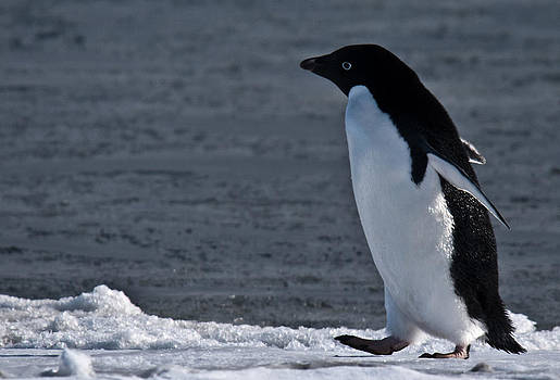 Adelie Penguin 24 by David Barringhaus
