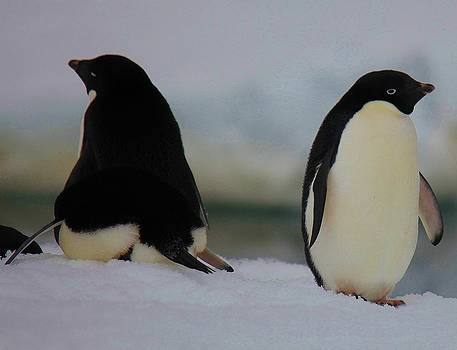 Adelie Penguin 30 by David Barringhaus