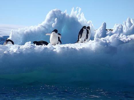 Adelie Penguin by David Barringhaus