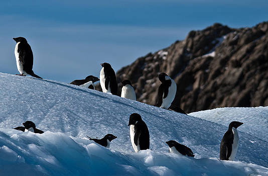 Adelie Penguins 04 by David Barringhaus
