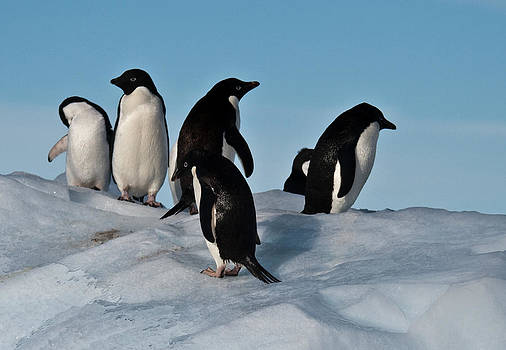 Adelie Penguins 11 by David Barringhaus