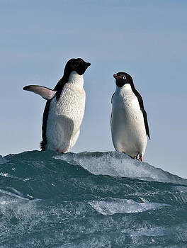 Adelie Penguins 12 by David Barringhaus