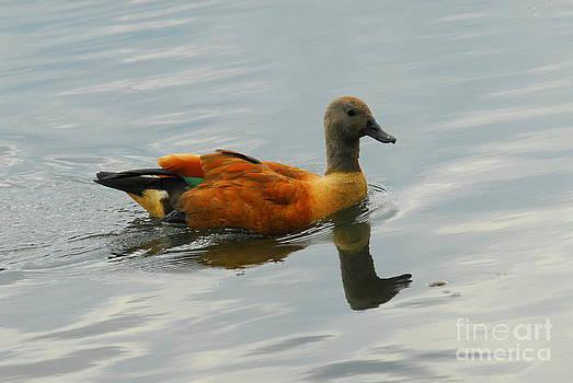African Cape Shell-Duck by Curtis Brackett