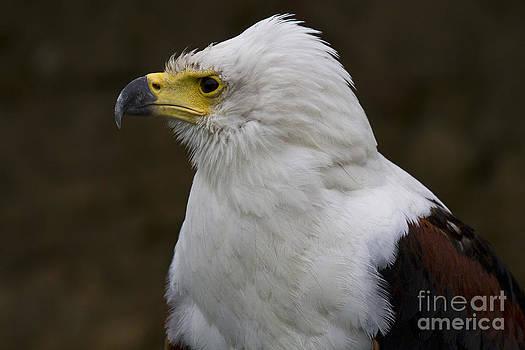 Heiko Koehrer-Wagner - African fish eagle 3
