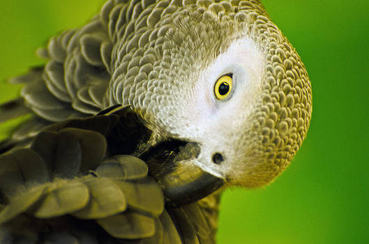 African Grey Parrot by Cheryl Cencich