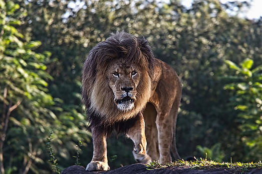 African Lion by Jason Blalock