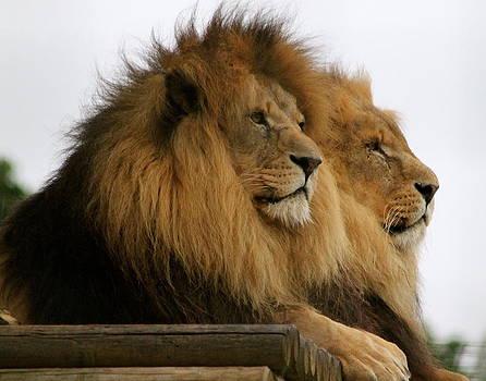 African Lions by Karen Grist