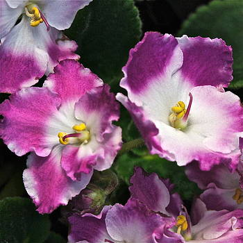 Byron Varvarigos - African Violets