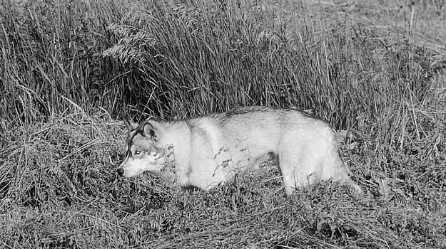 Alaskan Malamute by Charles Frieda