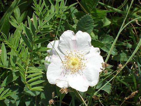Alberta Wild Prickly White Rose by Mark Lehar