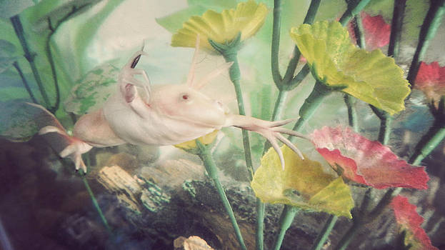 Albino African Clawed Frog by Kristina Savasta