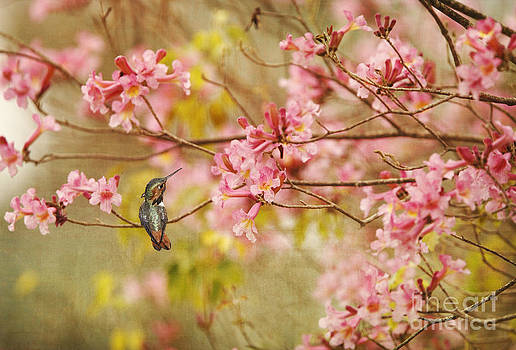 Susan Gary - Allens Hummingbird with Spring Blossoms