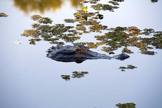 Alligator  by Gary  Taylor