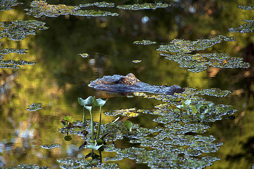 Alligator in Swamp by Gary  Taylor