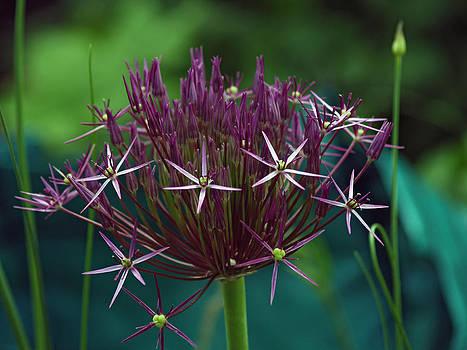 Allium by Steve Watson