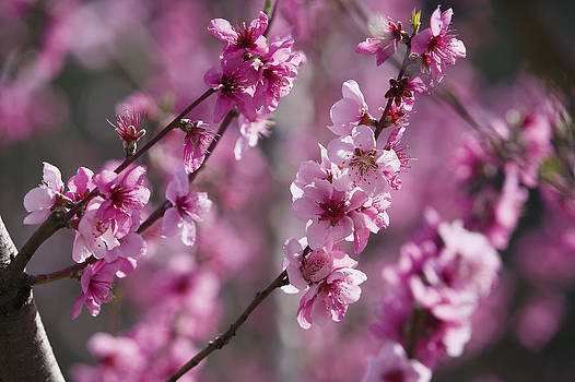 Konrad Wothe - Almond Prunus Dulcis Trees Blooming