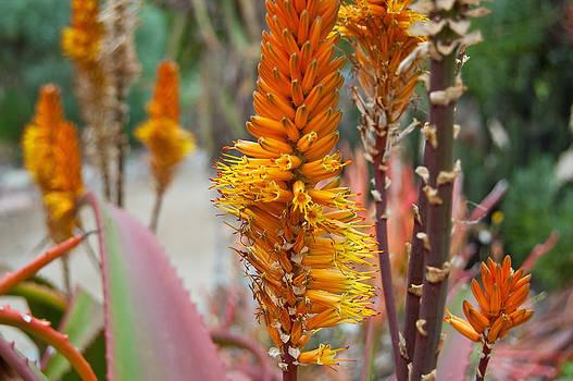 Margaret Pitcher - Aloe Vera Blossoms