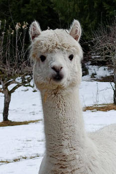 Alpaca Photograph - Howdy by Light Shaft Images