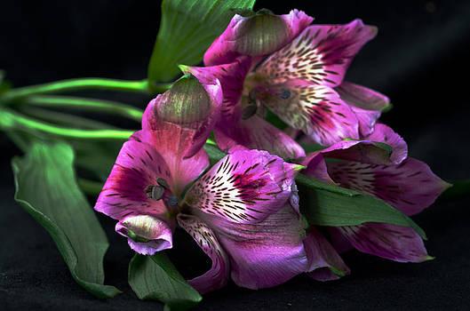 Alstromerig lilies by Cheryl Cencich