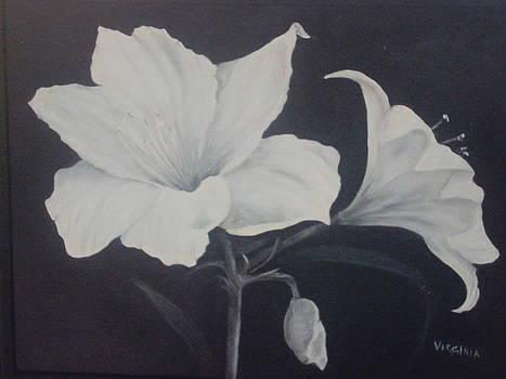 Amaryllis by Virginia Butler