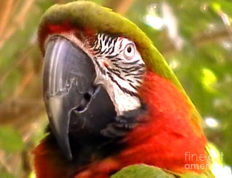 Amazon Macaw by John From CNY