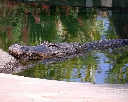 American Alligator 10 by Lorrie Bible