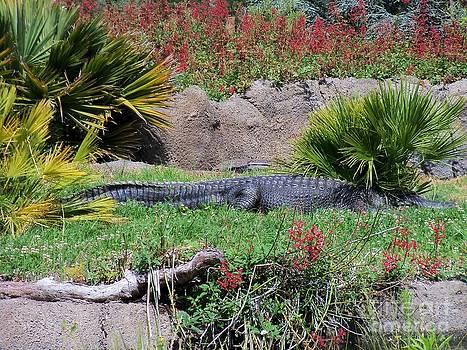 American Alligator 11 by Lorrie Bible