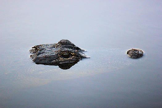 Suzie Banks - American Alligator Relaxing