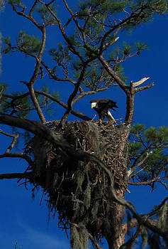 American Bald Eagle and Nest by Roger Soule