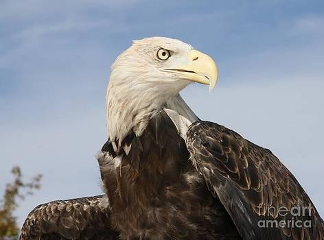American Bald Eagle by Lori Bristow